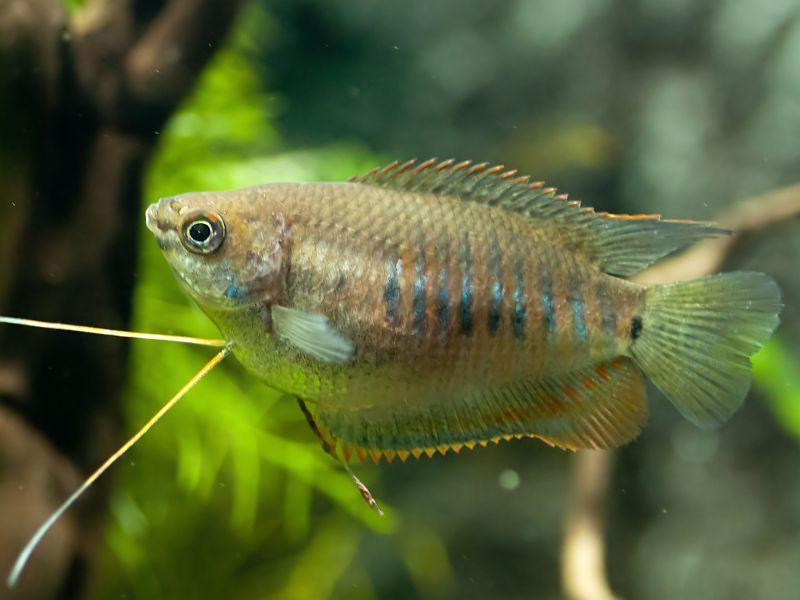 Fadenfisch