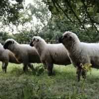 Rohwolle von heimischen Schafen