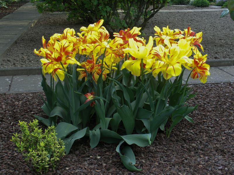 Ein schöner Strauß Tulpen